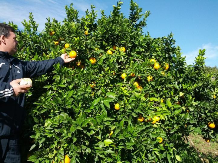 Recolecta de naranjas en Naranja Tradicional de Gandia
