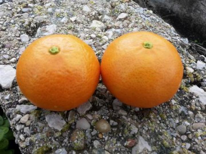 Mandarinas clemenvillas del árbol de tu casa