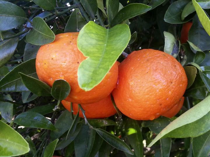 Las mandarinas con más personalidad