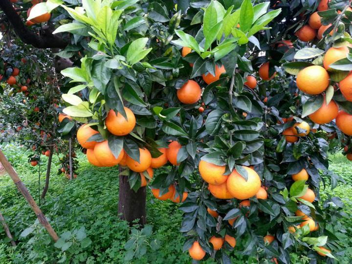 Naranjas navelinas categoría II