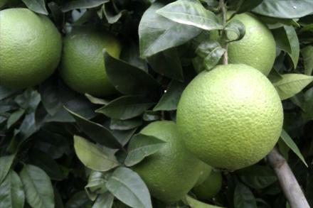 La naranja Navelina