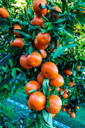 Compra mandarina Clemenvilla de Naranja Tradicional de Gandia
