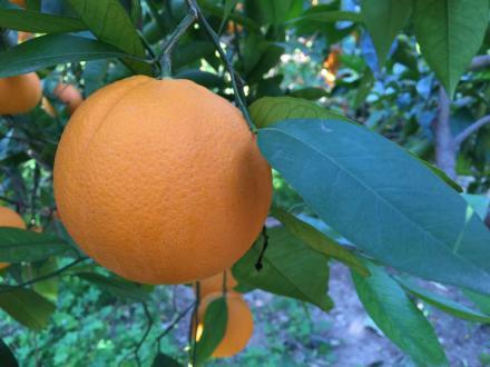 Naranjas Lane Late dulces y sin acidez