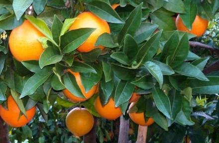 Ya tenemos maduras las primeras naranjas de la temporada. Las naranjas navelinas calidad Extra. ¡Disfrútalas recién recolectadas en tu casa!  La primera recolecta la realizaremos el lunes 6 de noviembre, las enviaremos ese mismo día y te llegarán a casa e