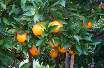 Compra naranjas navelinas online dulces