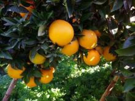 Inicio naranjas navelinas