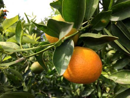 Mandarina marisol en su punto de recolección