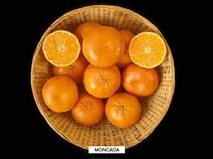 Mandarina Moncada