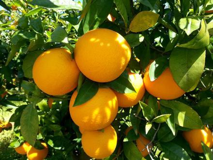 Venta online de naranjas Valencia Late